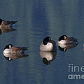 Five Geese Napping by Sharon Talson