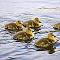 Five Goslings In The Water by Craig Tuttle