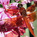 Flame Skimmer Dragonfly by Laurel Talabere