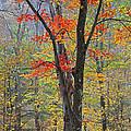 Flaming Fall Foliage by John Stephens
