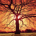 Flaming Oak by Andy Linden