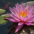 Flaming Waterlily by Maggie Magee Molino