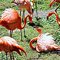 Flamingo Face-off by Elizabeth Hart