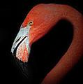 Flamingo Portrait by Dave Mills