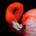 Flamingo Preening by Dave Mills