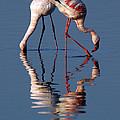 Flamingo Reflection by Vic Sharratt