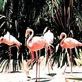 Flamingo Struts by Florene Welebny