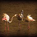 Flamingos Argue by Radoslav Nedelchev