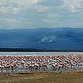 Flamingos by Chris Minihane
