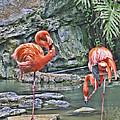 Flamingos Img 2897 by Torrey E Smith
