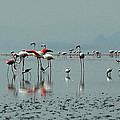 Flamingos In Magadi by Chris Minihane