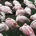 Flamingos by Pamela Muzyka