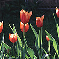 Flared Red Yellow Tulips by Tom Wurl