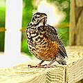 Fledling Robin by Debbie Portwood