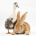 Flemish Giant Rabbit And Call Duck by Mark Taylor