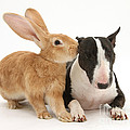 Flemish Giant Rabbit And Miniature Bull by Mark Taylor