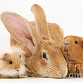 Flemish Giant Rabbit With Guinea Pigs by Mark Taylor