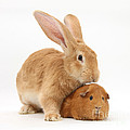 Flemish Giant Rabbit With Red Guinea Pig by Mark Taylor