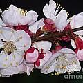 Fleurs D'abricotier by Sylvie Leandre