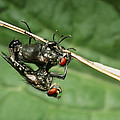 Flies Mating by Dr George Beccaloni