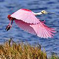 Flight A Roseate Spoonbill by Bill Dodsworth