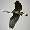 Flight Of The Great Blue Heron by Saija  Lehtonen
