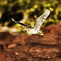 Flight Of The Heron  by Douglas Barnard