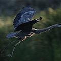 Flight Of The Heron by Ernie Echols