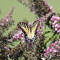 Flitter - Butterfly - Swallowtail by Travis Truelove