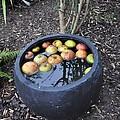 Floating Apples by Kumi Rajagopal