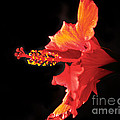 Floating Hibiscus by Robert Bales