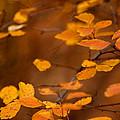 Floating On Orange Fall Leaves by LeeAnn McLaneGoetz McLaneGoetzStudioLLCcom