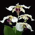 Flock Of Dendrobium by Terri Winkler