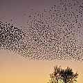 Flock Of European Starlings by  Onyonet  Photo Studios
