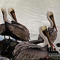 Flock Of Pelicans by Keith Kapple