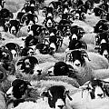 Flock Of Sheep by Tilen Hrovatic