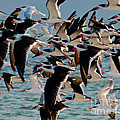 Flock Of Terns by Stephen Whalen