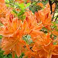 Floral Art Prints Orange Rhodies Flowers by Baslee Troutman
