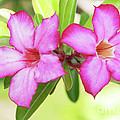 Floral Background. Desert Rose. by MotHaiBaPhoto Prints