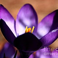 Catching Crocus  by Neal Eslinger