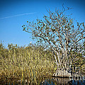 Florida Everglades 8 by Madeline Ellis