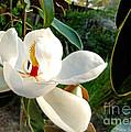 Florida Magnolia by Nava Thompson