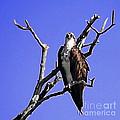 Florida Osprey by Danuta Bennett