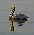 Florida Pelican by Peg Urban