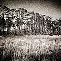 Florida Pine 2 by Skip Nall