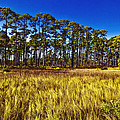 Florida Pine 3 by Skip Nall