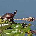 Florida Redbelly Turtle by Peg Urban