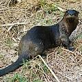 Florida River Otter by Lynda Dawson-Youngclaus