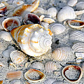 Florida Shells by David Lee Thompson