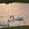 Florida Swans by Richard Ferrar